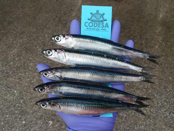Acciughe del Mar Cantabrico Codesa Real Group